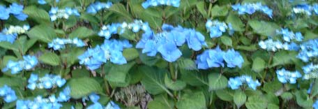 Blue flowers in July